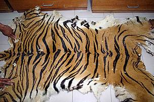 Confiscated tiger skin by PERHILITAN in Malaysia  © TRAFFIC Southeast Asia/J. Ng