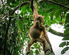 The Bornean orangutan inhabit the forests of Borneo, both within the borders of Sabah and Sarawak as well as in the Kalimantan provinces of Indonesia.