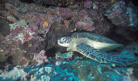Green turtle rel=