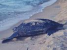 Leatherback Turtle, Terengganu, Malaysia © WWF-Malaysia/Ken Scriven
