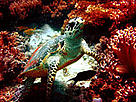 Hawksbill turtle in its habitat, surrounded by corals. © WWF-Malaysia/C. F. Hiew