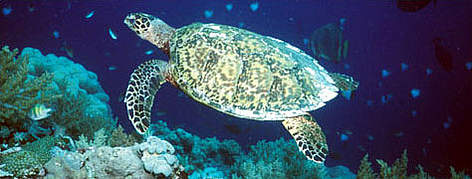 Hawksbill turtles feed off sponges amongst the corals. rel=